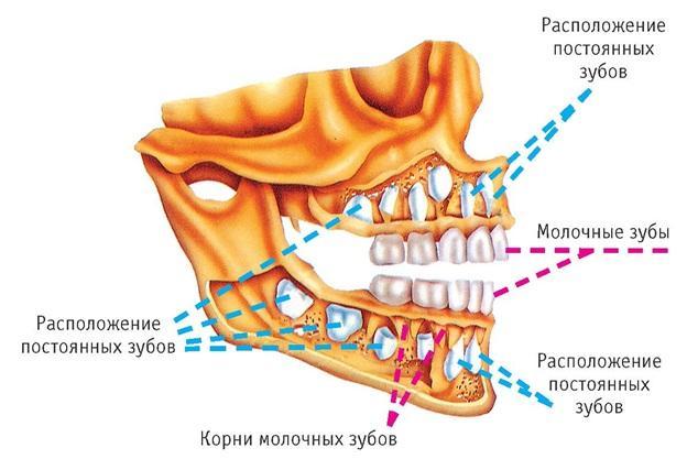 челюсти