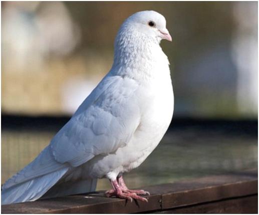 белый голубь