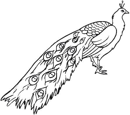 черно-белый павлин