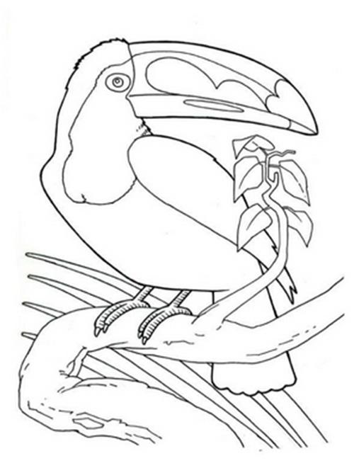 черно-белый тукан