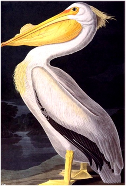 пеликан на берегу