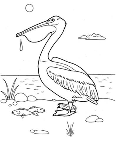 черно-белый пеликан